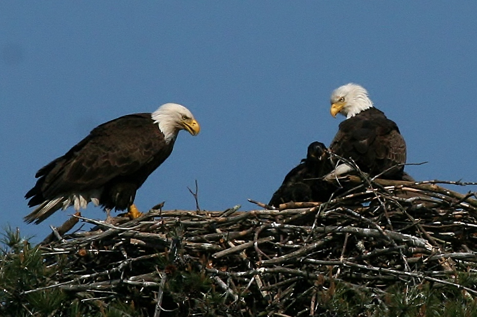 blog Eagles 5 19 057 2 Eagle Triplets Through the Big Lens
