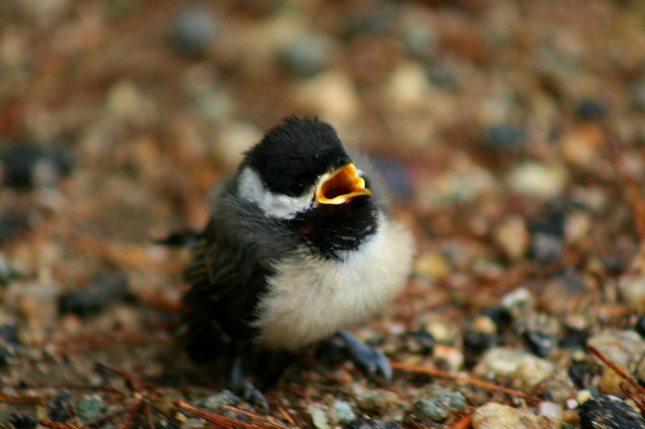 Baby Chickadee (24) (1280x853)
