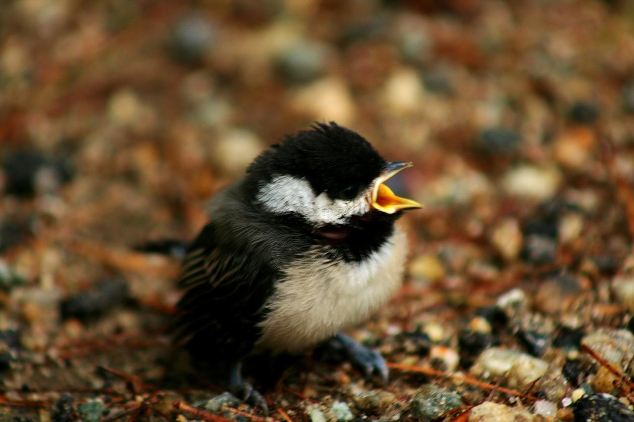 Baby Chickadee (27) (1280x853)