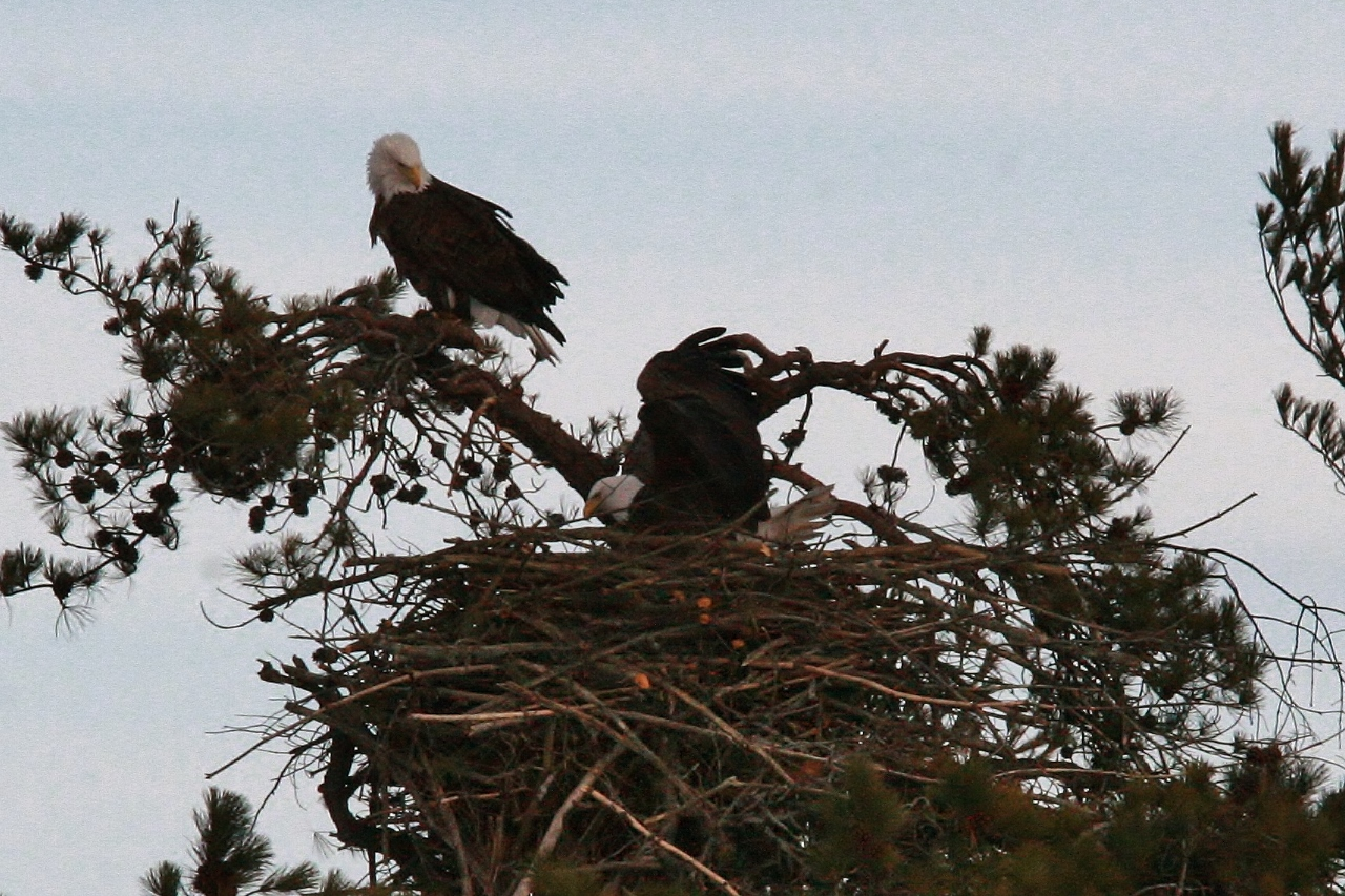 Eagles mating 3-8 045 (1280x853)