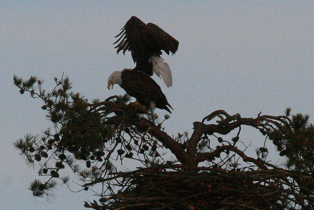 Eagles mating 3 8 139 1100x734 The Eagles Are Home!