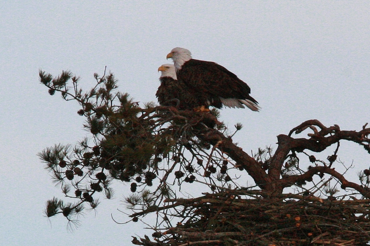 Eagles mating 3 8 186 1280x853 The Eagles Are Home!