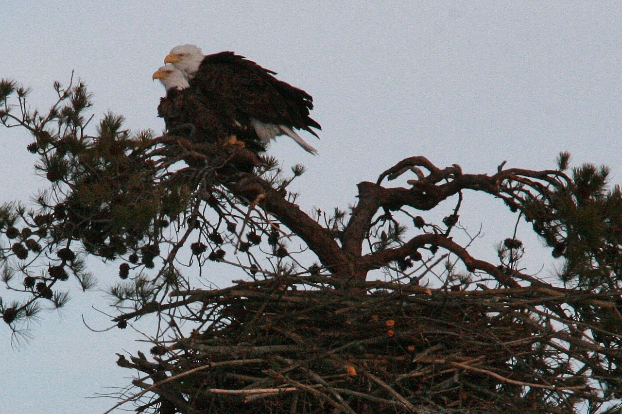 Eagles mating 3 8 213 1280x852 The Eagles Are Home!