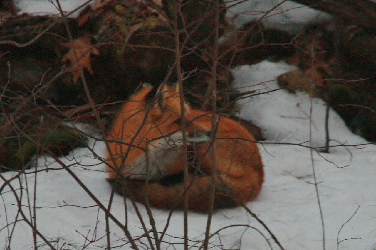 Fox Backyard Nap  (19)