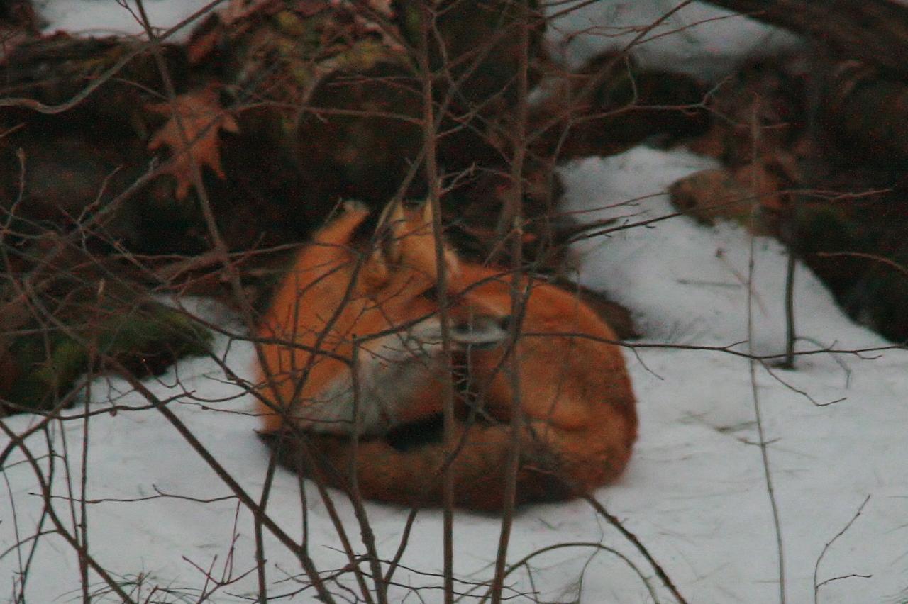 Fox Backyard Nap  (19)