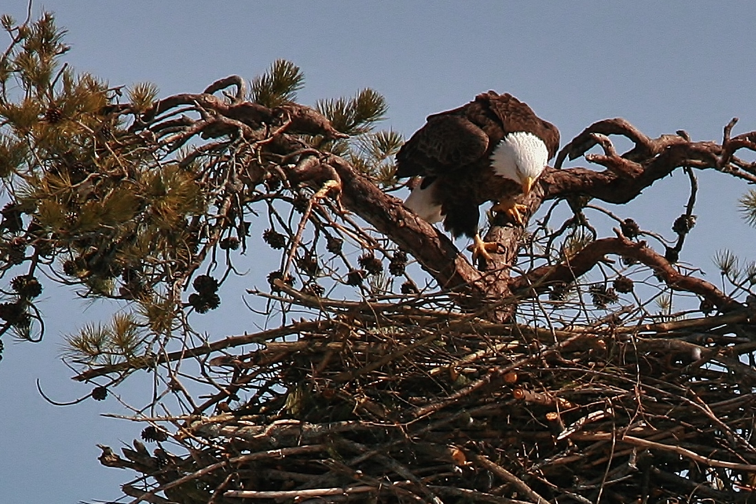 Nesting Eagles 3-10 012 (1100x734)