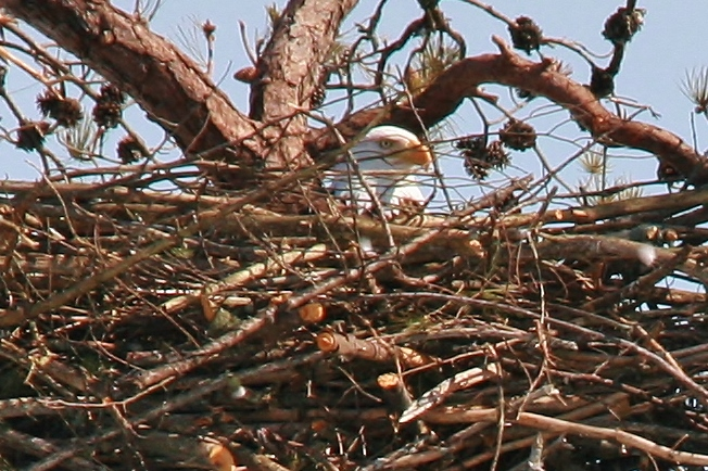 Nesting Eagles 3-10 022 (652x434)