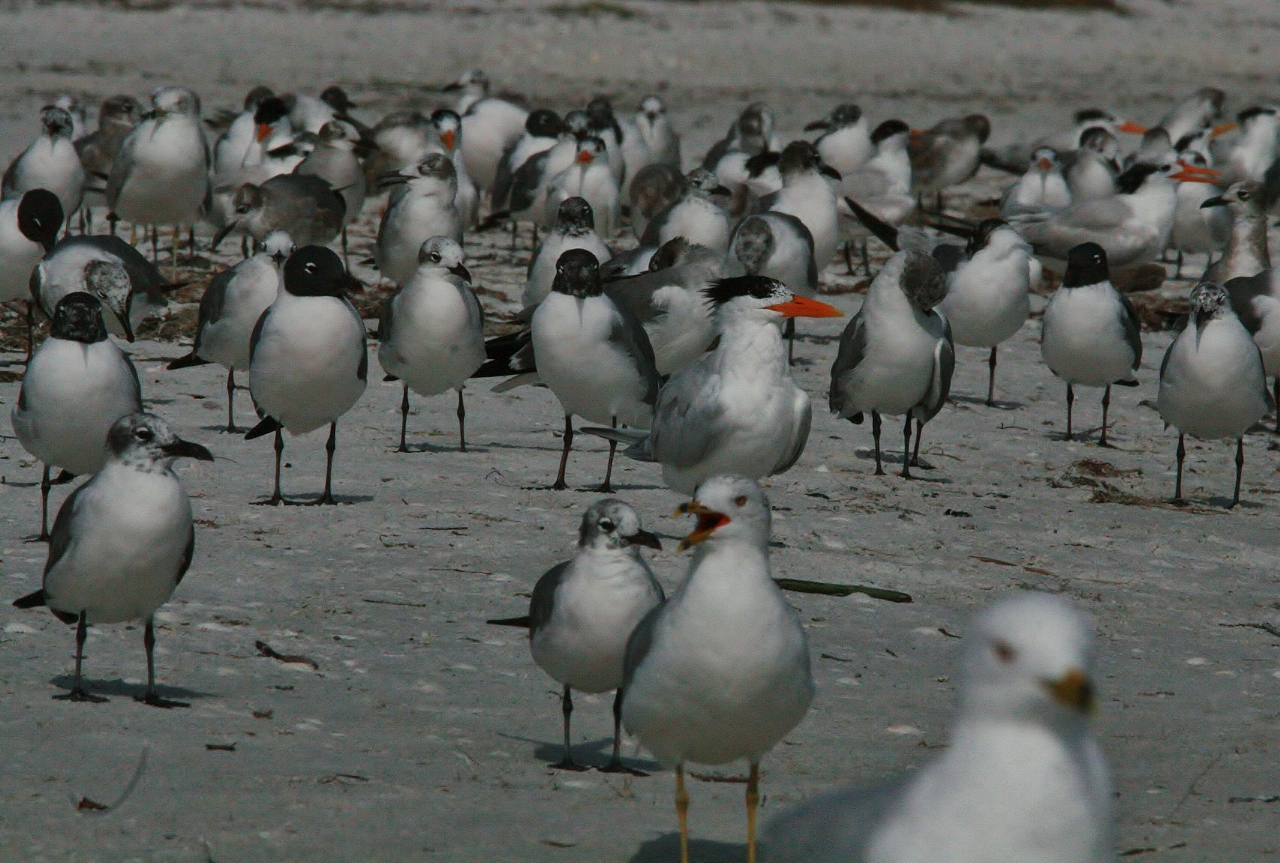 Periwinkle Birds and Beach 111 (1280x863)