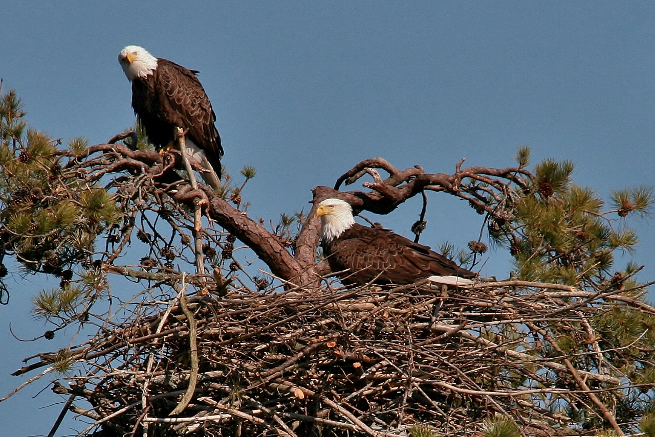 eagles feeding 032 (1280x855)