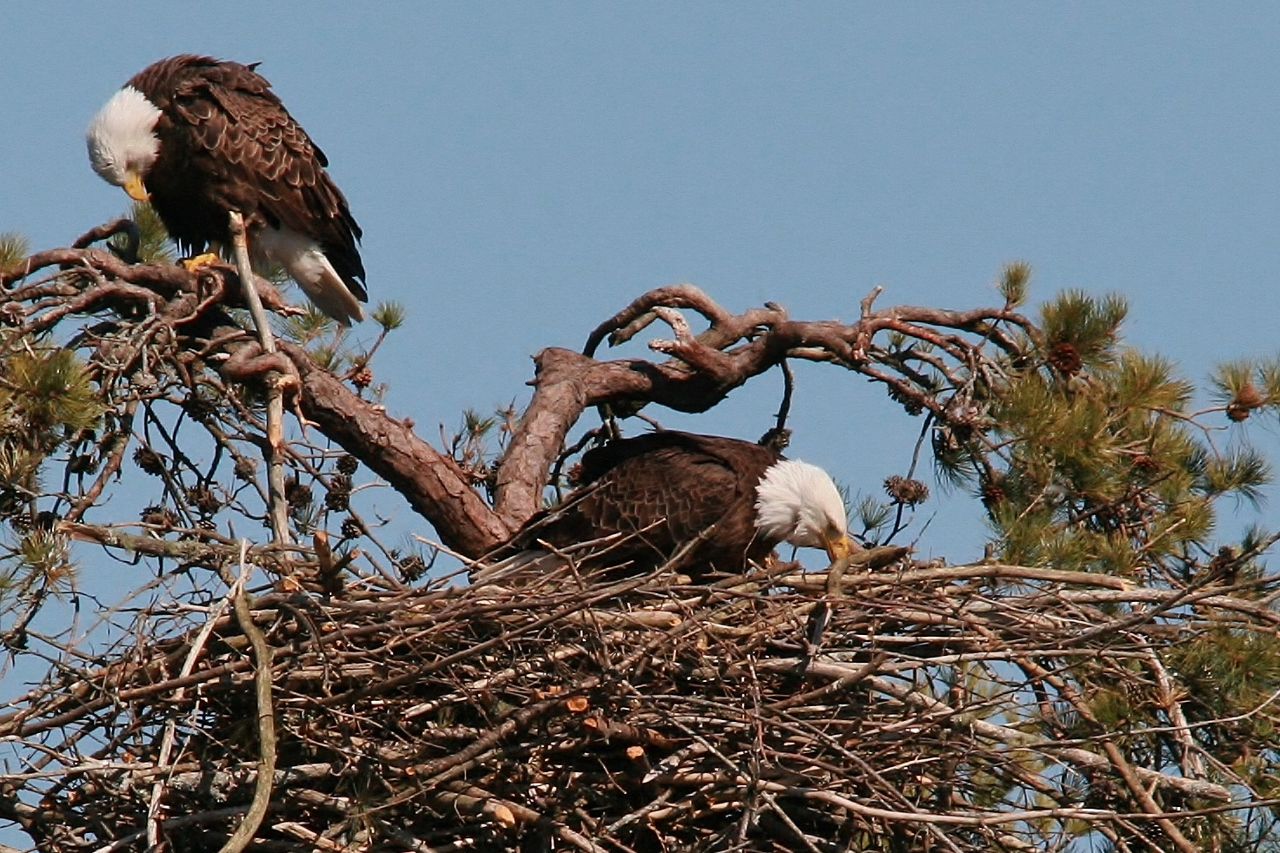 eagles feeding 068 (1280x853)