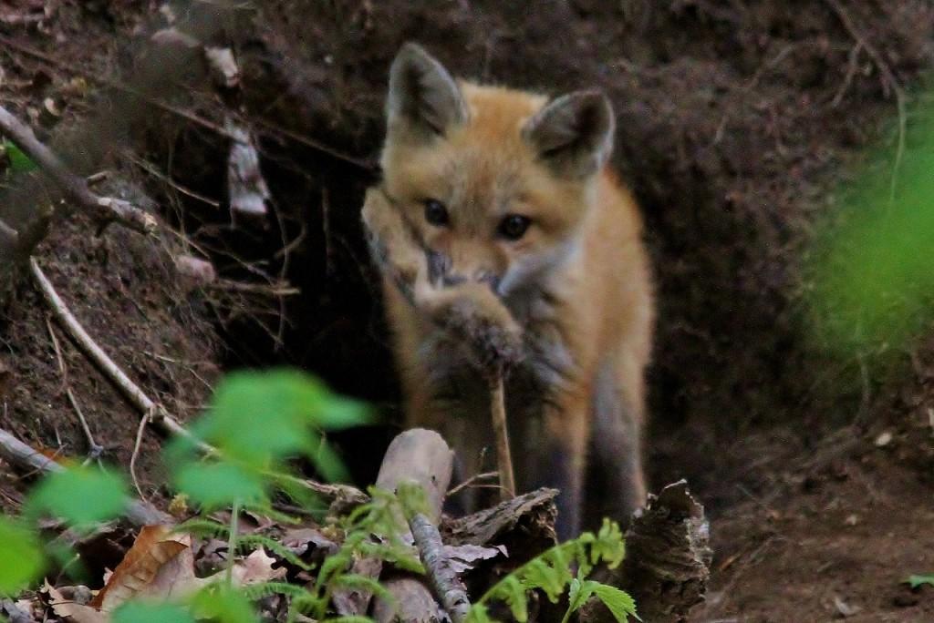 Fox Den 5-14  (176) (1280x855)