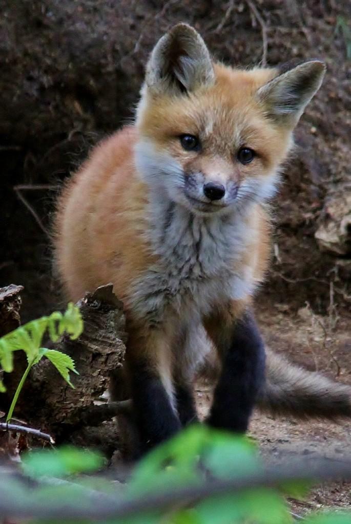 Fox Den 5-14  (18) (857x1280)