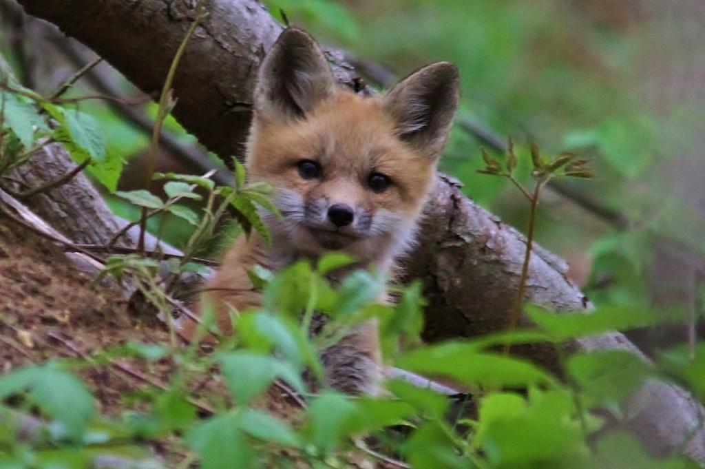 Fox Den 5-14  (22) (1280x852)
