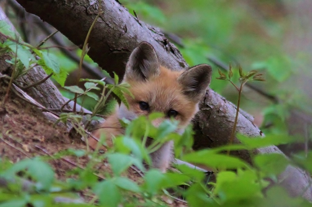 Fox Den 5-14  (26) (1280x852)