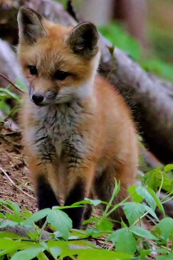 Fox Den 5-14  (57) (851x1280)