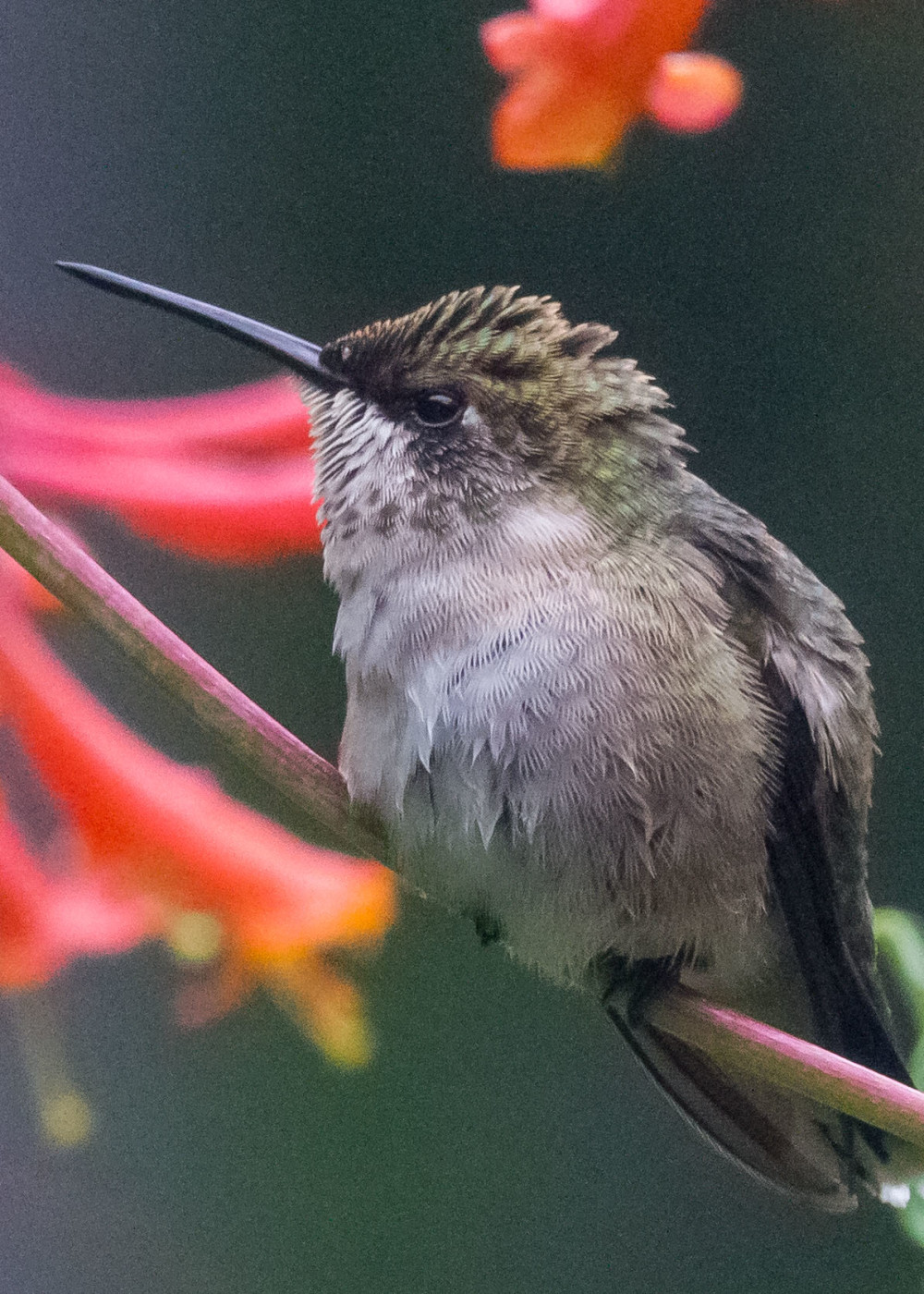 Hummingbird 7-28 113
