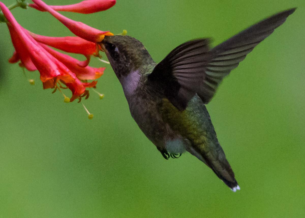 Hummingbird 7-28 178