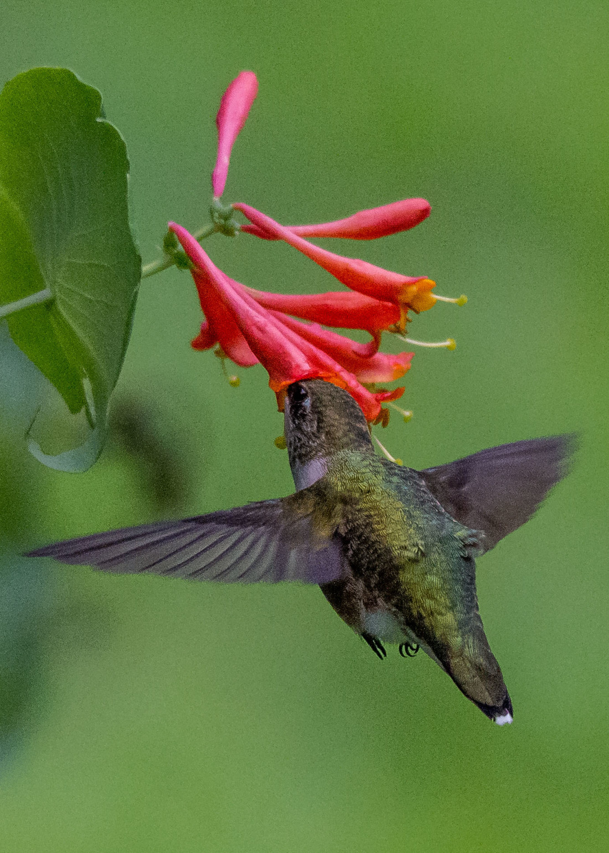 Hummingbird 7-28 183