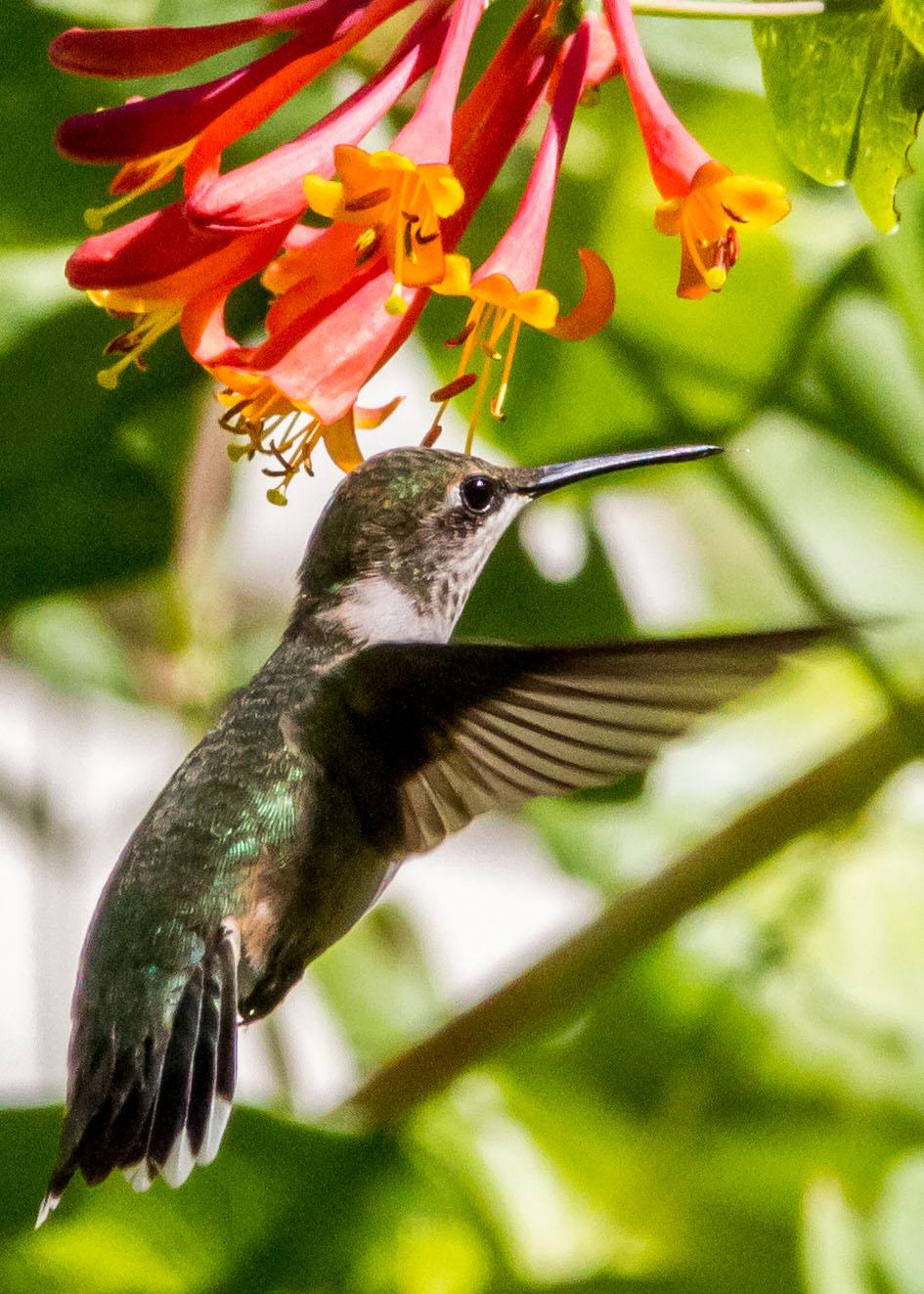 Hummingbird 2 026b