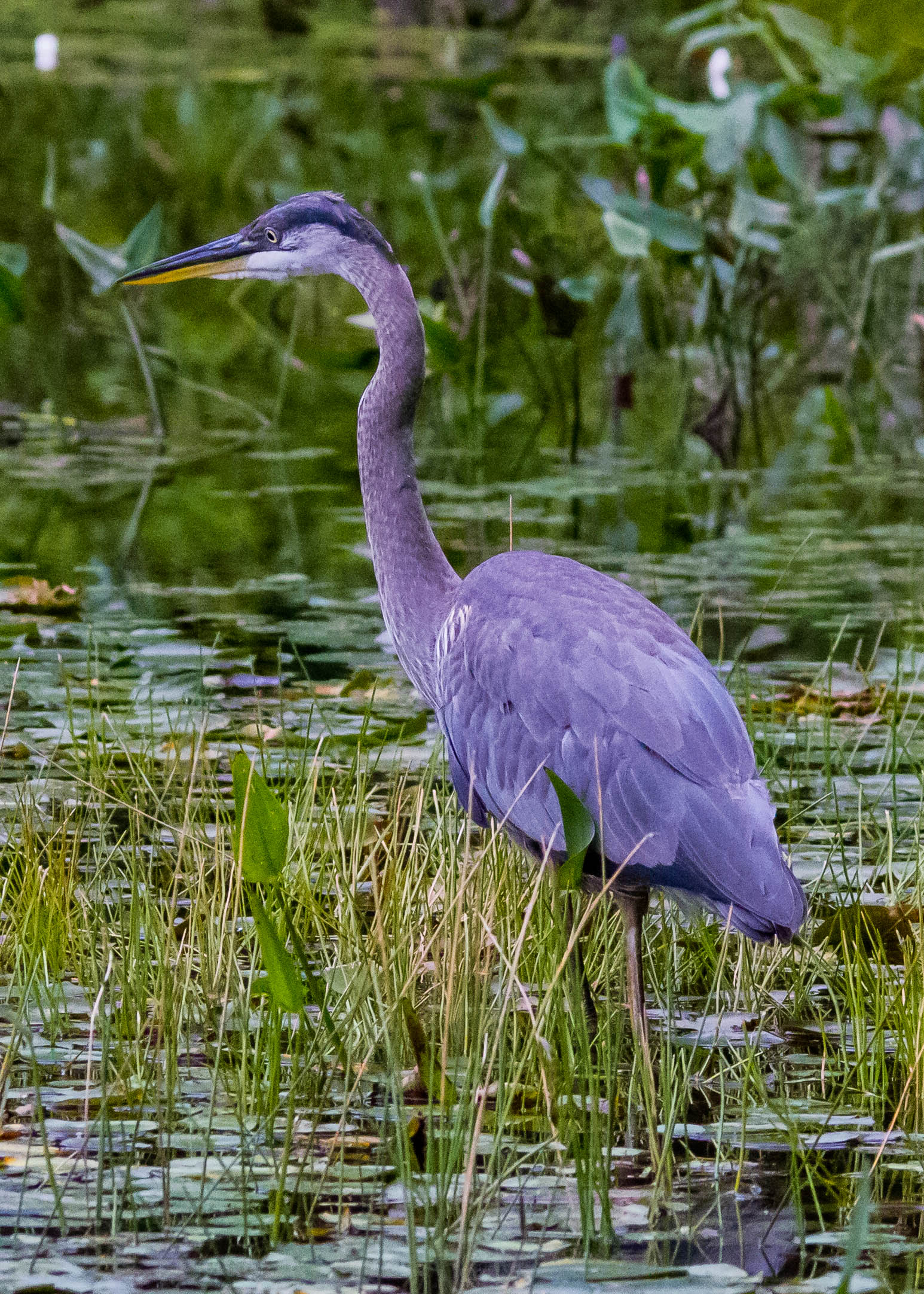 Great Blue Heron 106