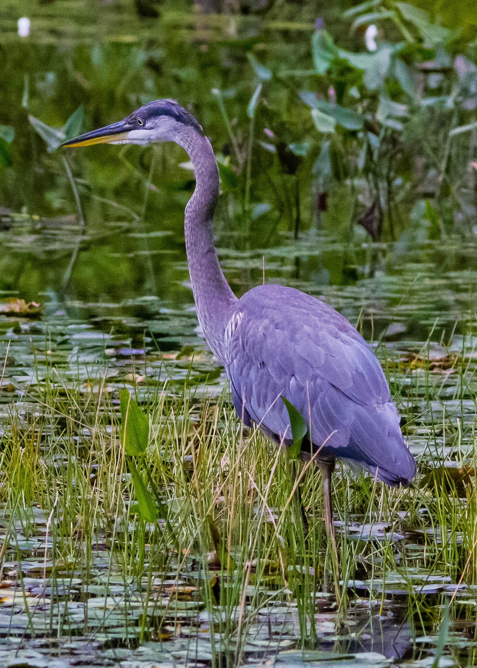 Great Blue Heron 106
