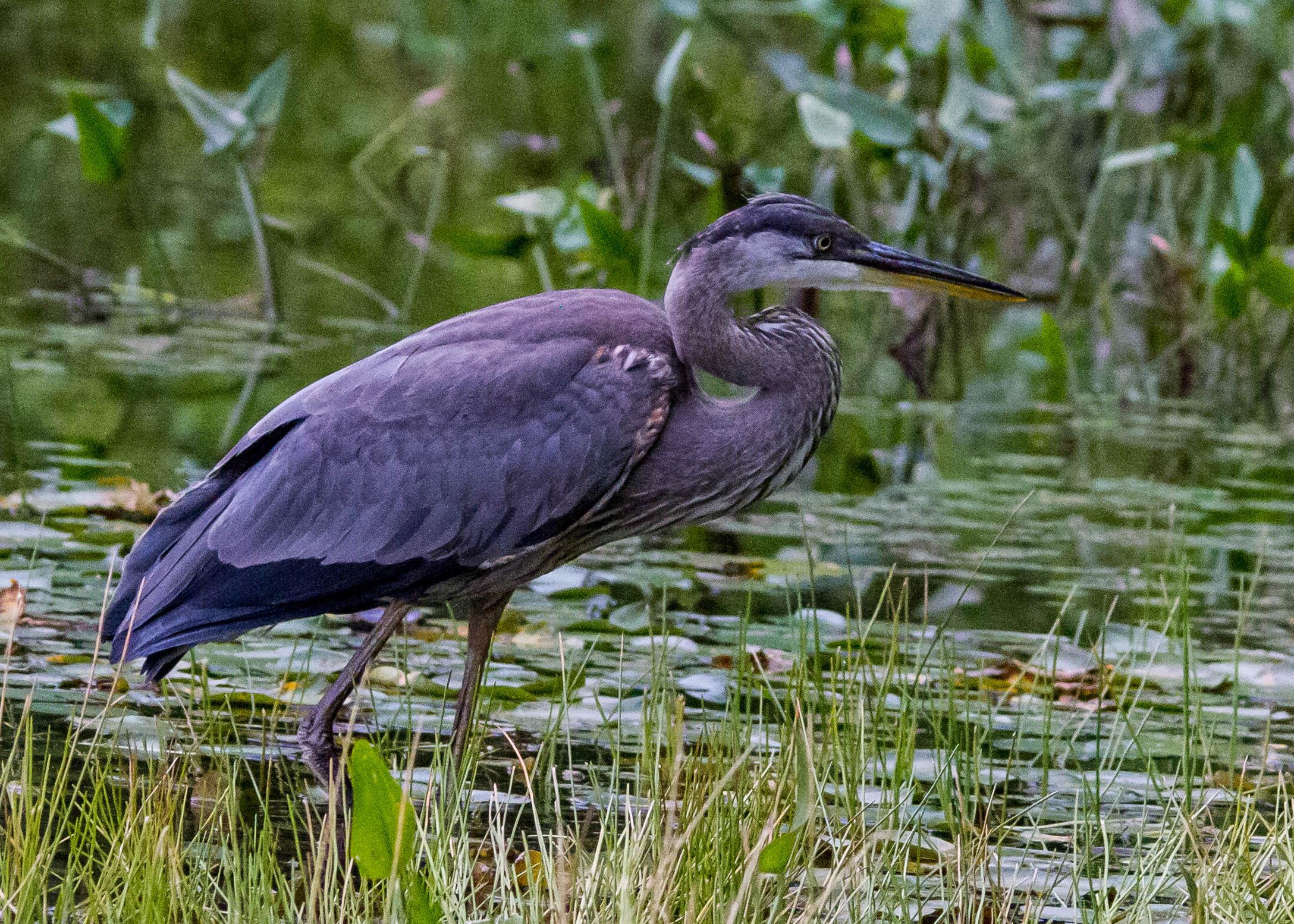Great Blue Heron 128