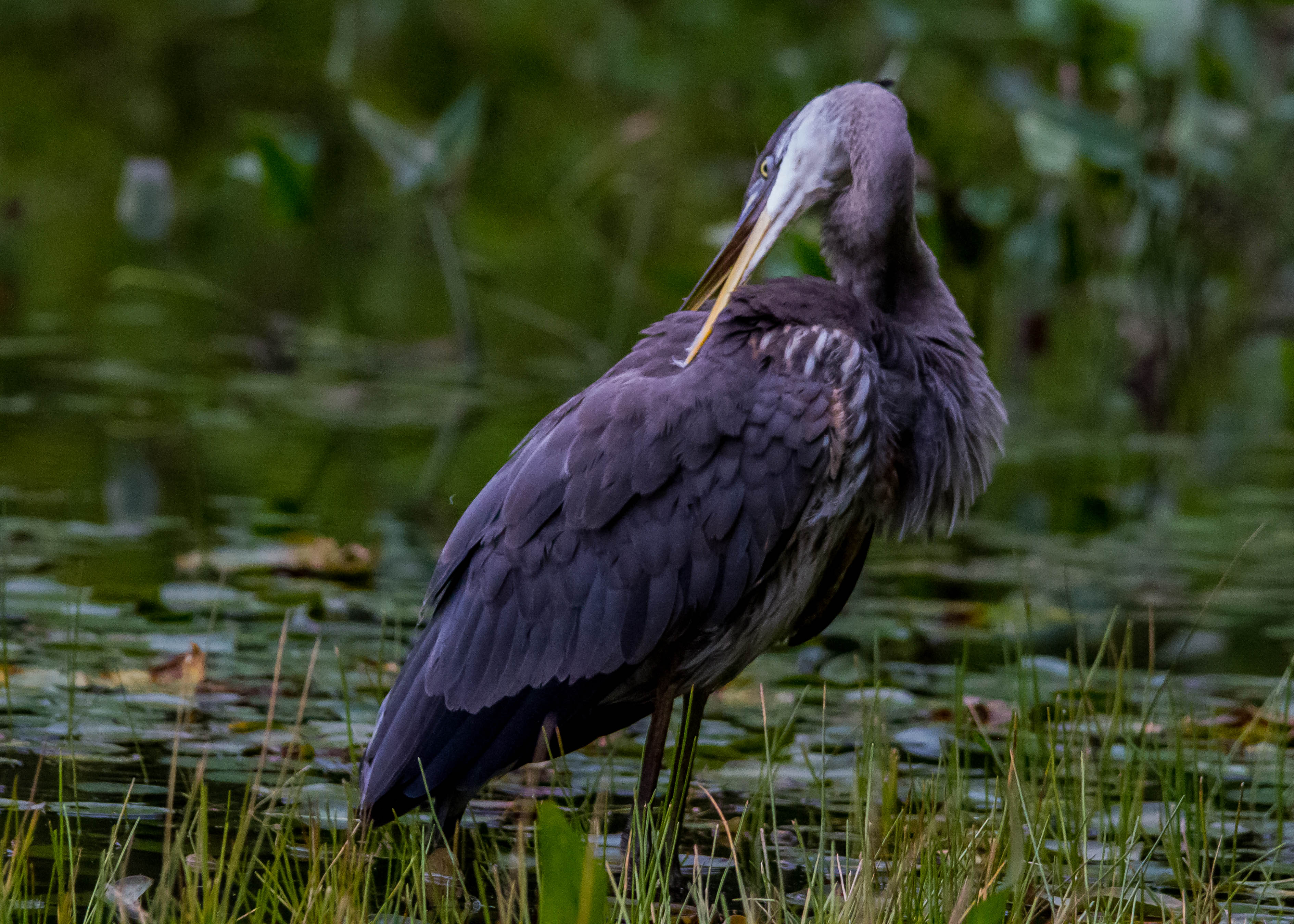 Great Blue Heron 196