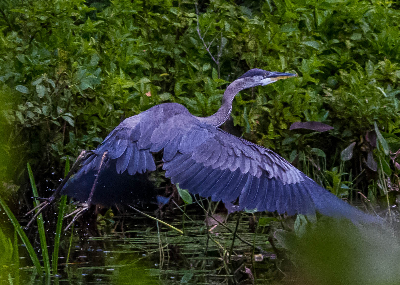 Great Blue Heron 226