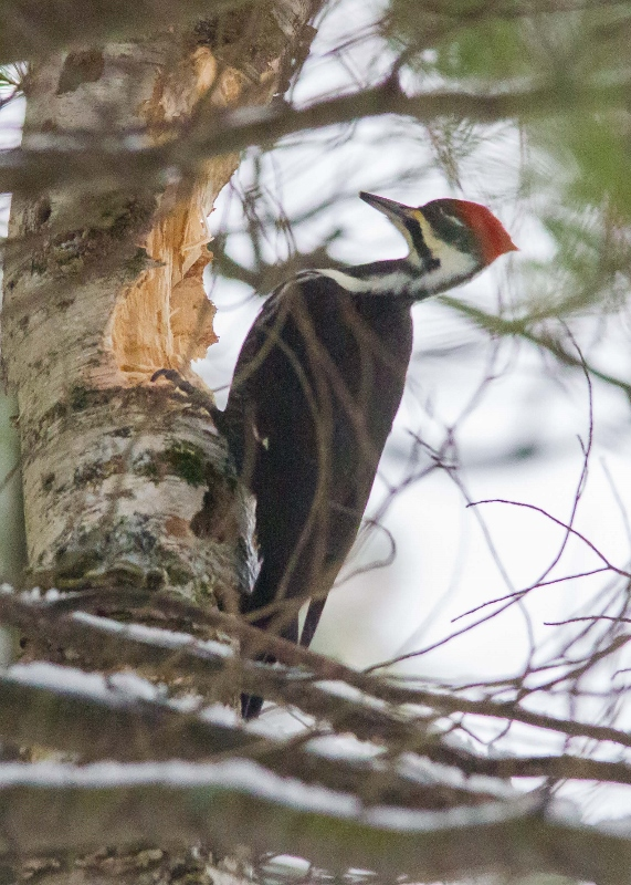 Pileated Woodpecker 005 (571x800)