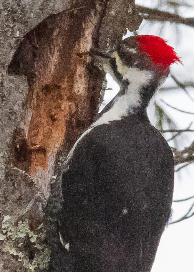 pileated woodpecker (21a)