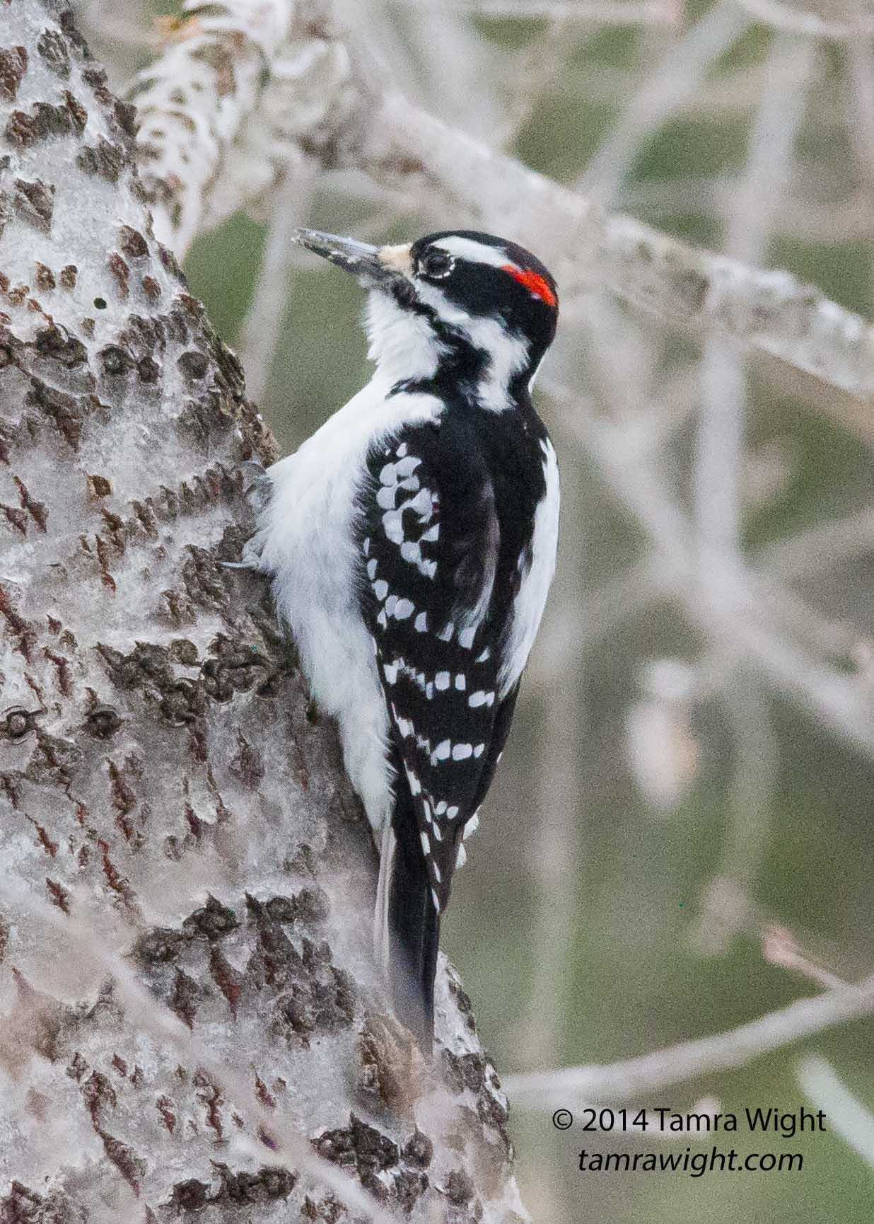 woodpecker (1)