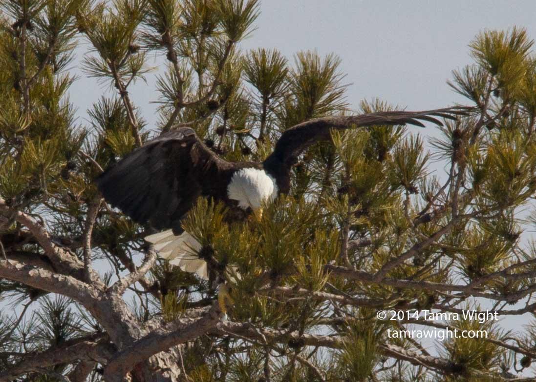 Eagles 3-8 nesting (11)