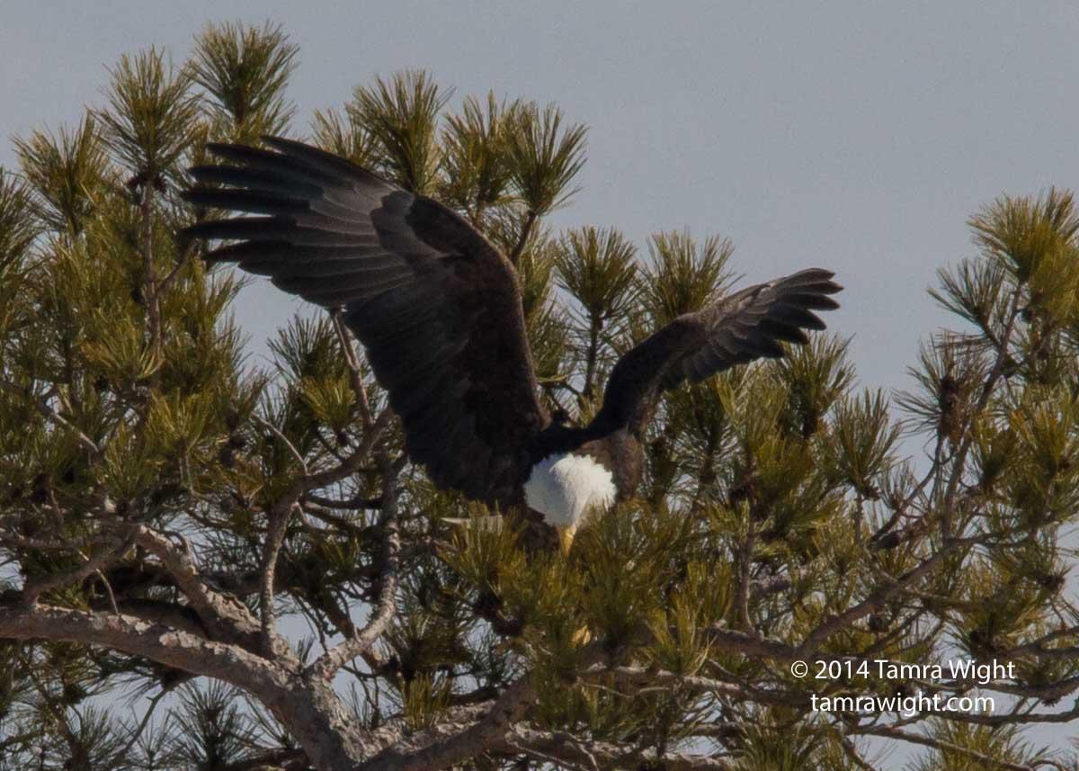 Eagles 3-8 nesting (14)