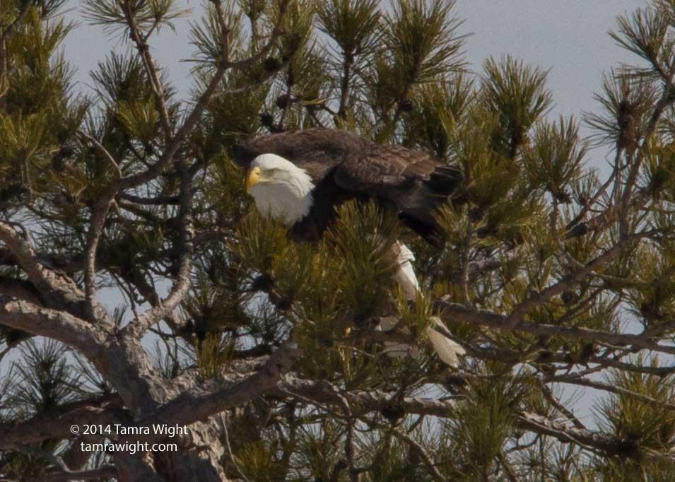 Eagles 3-8 nesting (17)