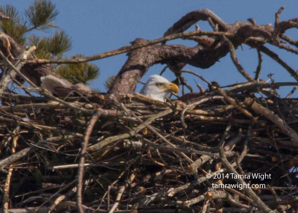 Eagles 3-8 nesting (51)