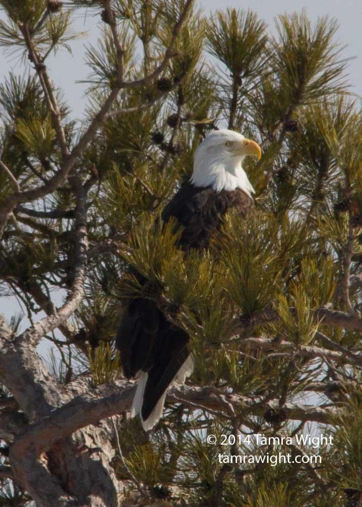 Eagles 3-8 nesting (8)