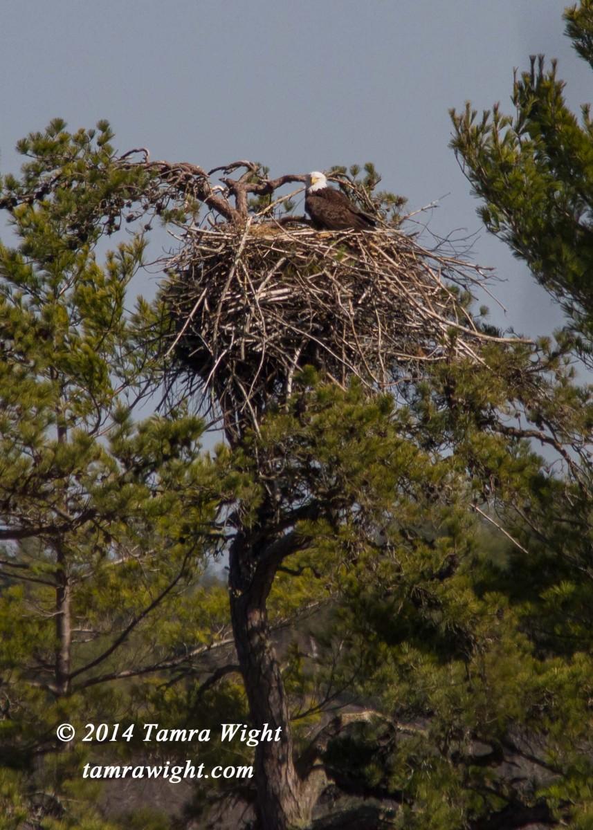 Eaglets 4-21  (1)