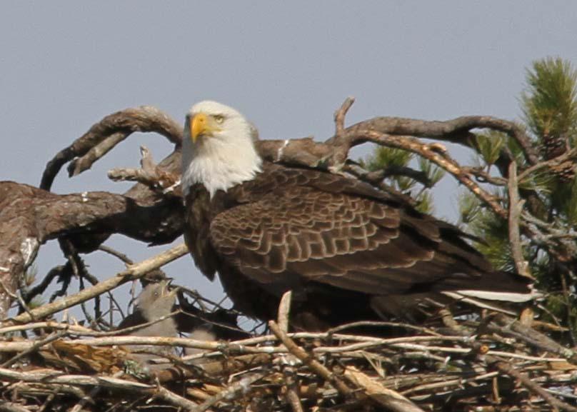 Eaglets 4-25   (100a)