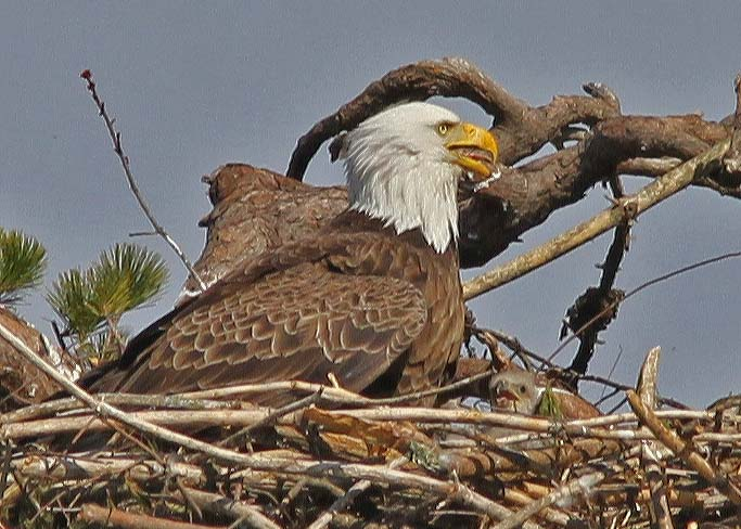 Eaglets 4-25   (15a)