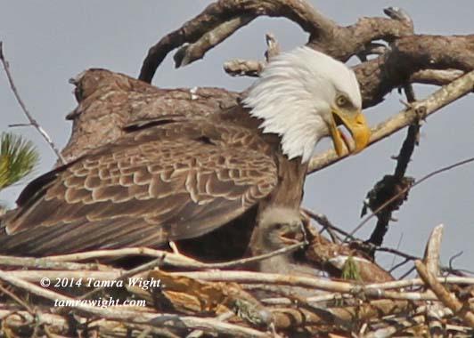 Eaglets 4-25   (36b)