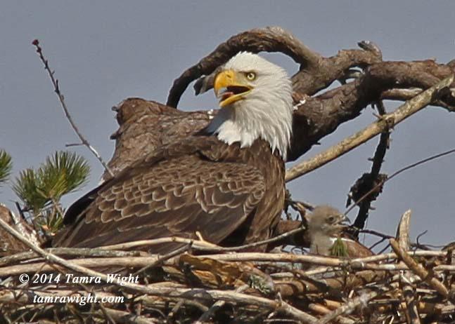 Eaglets 4-25   (50a)
