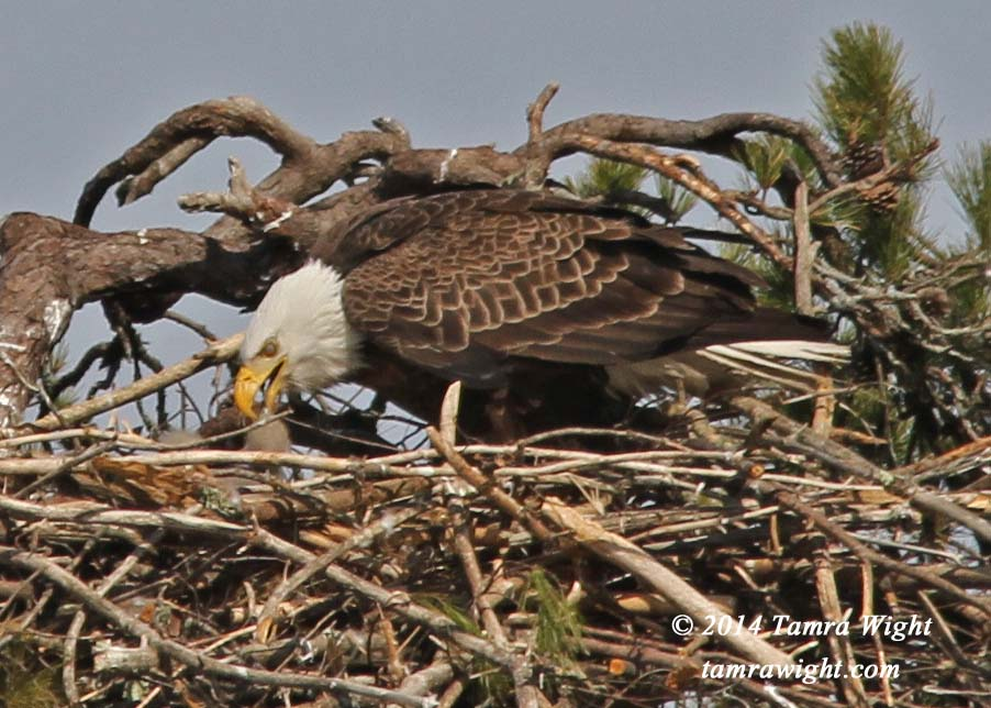 Eaglets 4-25   (82a)