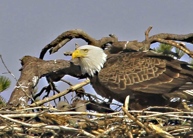 Eaglets 4-25   (87a)