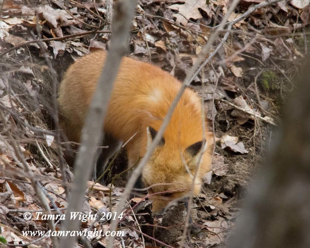fox den 1