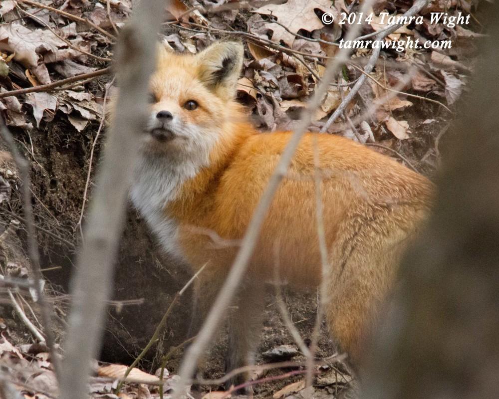 fox den 2