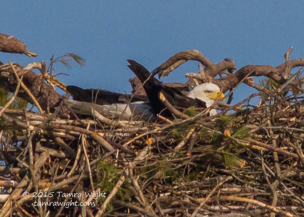 Nesting Eagles 3-25-15  (27)