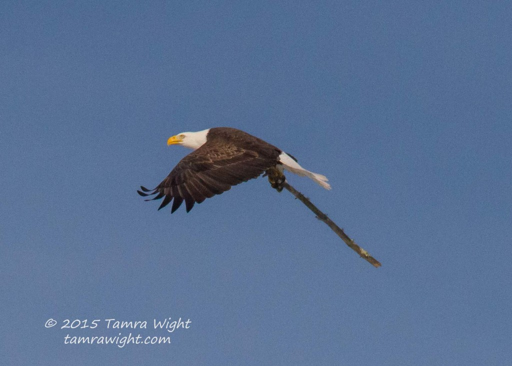 Nesting Eagles 3-25-15  (45)