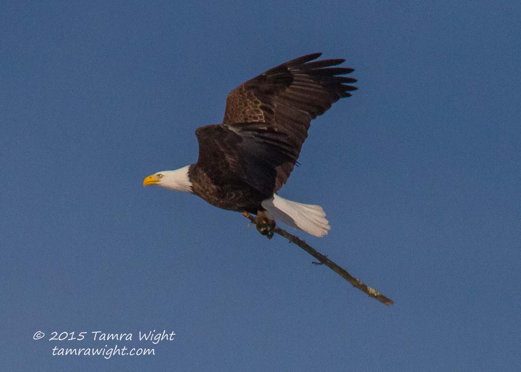 Nesting Eagles 3-25-15 (46)