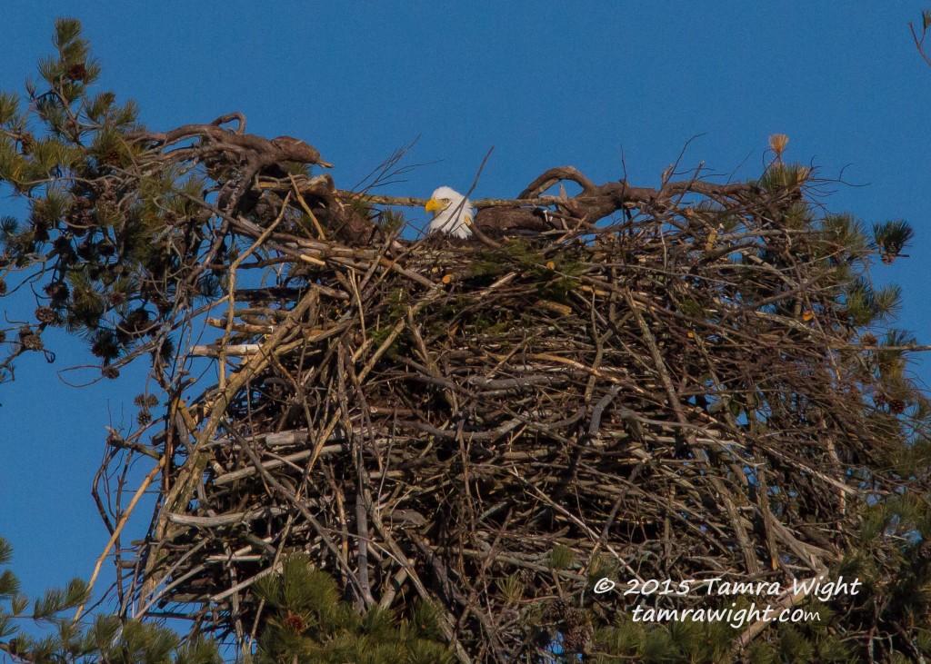 Nesting eagles 3-24-15  (40)