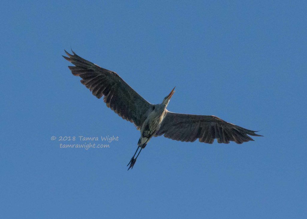 Loons And Turtles And Cranes Oh My >> Words And Wildlife Blog Tamra Wight Children S Author
